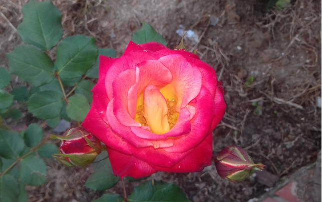 flor-roseria